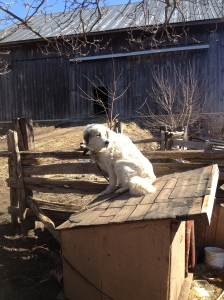 Daisy dog, enjoying the sun on top of her doghouse.